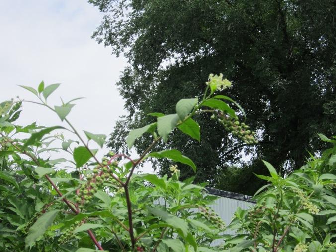 Green Poke Berry