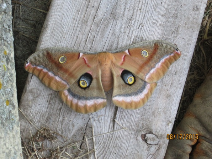 Moth on 1x6 board