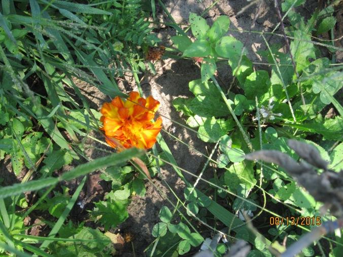 Die hard marigold