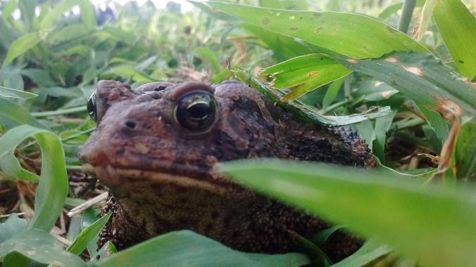 Posing bullfrog