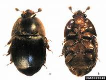 HIve Beetle